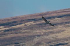 Goshawk (Tim Melling) Tags: accipiter gentilis goshawk peak district national park timmelling