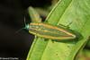 Iridotaenia sp. (GeeC) Tags: animalia arthropoda beetles buprestidae buprestoidea cambodia chrysochroinae coleoptera insecta iridotaenia jewelbeetles kohkongprovince metallicwoodboringbeetles nature tatai