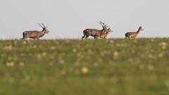 Cerfs en fuite (Richard Holding) Tags: animal cerf chasse deer eure field hunting m43 nature naure normandie normandy olympus omd reddeer stag wildlife