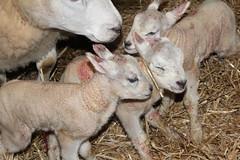 New Life Yes yes   triplets ! (excellentzebu1050) Tags: newlife newborn triplets lambs lamb animal animals farm birth animalportraits born indoors coth5 sunrays5