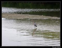 Aigrette roussâtre (Egretta rufescens) (cquintin) Tags: chordata vertebrata aves pelecaniformes ardeidae egretta rufescens egret aigrette