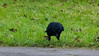 Welcome to Stratford on Avon (Dave_A_2007) Tags: corvidae corvuscorone bird carrioncrow crow nature wildlife stratforduponavon warwickshire england