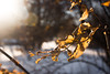 Holding On | 12/365 (Cassidy Walker) Tags: backlight backlit leaves snow flare trees cy365 365 potd 365the2018edition 3652018 day12365 12jan18