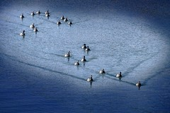 Un coeur gros comme ça (Briren22) Tags: mer oies bernaches cancale migration plage