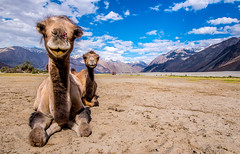 The Duo (ashwaters77) Tags: camels animals landscape ladakh colors blue desert mountains travel traveler