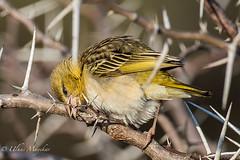 Village Weaver Female (mayekarulhas) Tags: krugernationalpark bird avian africa southafrica safari canon weaver