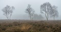 Heathland (Jorden Esser) Tags: marskramerpad pedlarstrail fog heather heathland mist moor treemendoustuesday trees nederlandvandaag