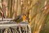 Look Beyond (Martin-Fused) Tags: animal bath bird botanicalgardens england light nature outdoors park robin royalvictoriapark somerset stump uk winter backgroundblur