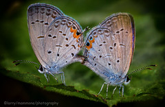 Silvery Blues Gettin Together (lastminutephoto) Tags: larrymammone silvery blues butterfly small macro mating field leaf nj nature natural insects flying wings