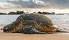 Shoreline Nap (Sikview) Tags: turtle seaturtle hawaii animal nature sleep beach shorelines sunset ocean sea travel sonya9