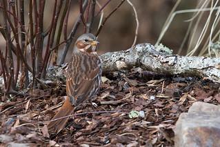 Fox Sparrow (Passerella iliaca), Maury County, Tennessee
