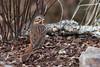 Fox Sparrow (Passerella iliaca), Maury County, Tennessee (kmalone98) Tags: wildlife buntingsandnewworldsparrows foxsparrow emberizidae passerellailiaca aves redfoxsparrow foxsparrowtennessee