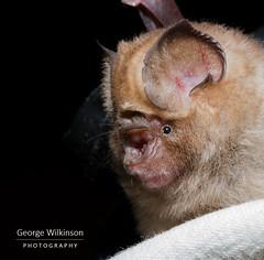 Sundevall's Leaf-nosed Bat (Hipposideros caffer) (George Wilkinson) Tags: sundevalls leafnosed bat hipposideros hipposideridae wildlife canon mammal 7d 60mm macro vwaza marsh nature reserve malawi africa chiroptera caffer