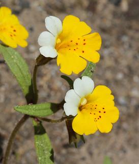 Yellow and White Monkeyflower