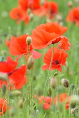 Poppies (Mags McLaren) Tags: 7daysofshooting week29 serene focusfriday