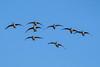 lake katherine. 2018 (timp37) Tags: palos lake katherine illinois january 2018 winter geese flying