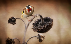 Goldfinch (brian_stoddart) Tags: wildlife bird plant background tint texture fine art nature composite