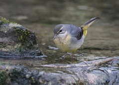 Grey wagtail (WLE 17) Tags: westsussex arundel wwt bird wagtail grey water