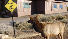 Look Before You Cross (Happily Drive) Tags: lumix lx5 elk grand canyon color colour martin parr candid animal