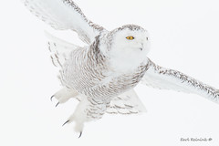 With talons outstreatched (Earl Reinink) Tags: animal winter cold snow outside earl reinink earlreinink nikon bird wings eyes flight flying owl raptor predator white snowyowl oahaedudza claws talons