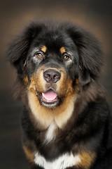 27783573_10215117727803511_919236276_n (natedetienne) Tags: ash tibetan mastiff puppy tm