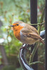 Puffing up the feathers... (The Frustrated Photog (Anthony) ADPphotography) Tags: animalsbirdsinsects bedfordshire birds category england luton places snow robin winter garden town nature natural wildlife canon tamron70300 canon70d outdoor bird bush