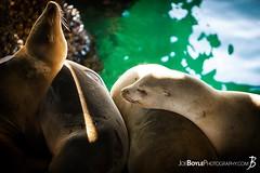 "Wednesday's JBP Photo of the Day! ""Closeup of Sea Lions Resting"" (JoeBoyle) Tags: sea lions harem school monterey california wildlife sealife pacific ocean creatures life restaurant eat eating food jbpphotooftheday"