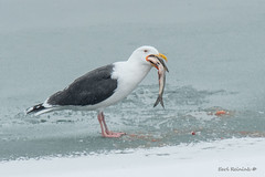 I rest my case... (Earl Reinink) Tags: bird animal flight winter gull blackbackedgull earl reinink earlreinink fish dutaedudza