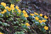 Winter Aconite (Mark Birkle) Tags: winter aconite eranthis hyemalis flower southern ohio yellow petal petals early blooming bloom first february spring ephemeral photo picture image flowers