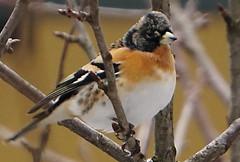 PEPPOLA DSC06933 (massimocenedese) Tags: peppola birds uccelli natura sony a6500