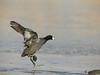 The Chicken Dance (Eddie_NewYorkNature) Tags: snow winter winterscenery americancoot coot dan dance bird birdofnewyork urbanwildlife urbanbird