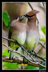 Male Cedar Waxwing feeding his companion (billthomas_steel) Tags: cedarwaxwing bombycillacedroram bird wildlife britishcolumbia canada eos7dmarkii canon courting feeding insect
