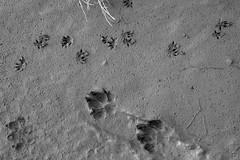 Spuren im Schlamm (ericgöbel) Tags: bürgel offenbach main mainufer kai hafen harbour river fluss frankfurt dog bird spuren füse pfoten abdrücke tapsig hund vogel
