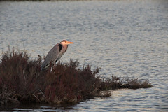 GreyHeron (hawaza) Tags: bird birds greyheron riaformosa algarve portugal sunset