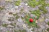 Winter Red (Cjasar) Tags: arbutusunedo strawberrytree corbezzolo mediterranean mediterraneo sardinia sardegna sardigna flora fruit frutto