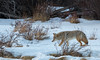 Coyote hunting, Grand Teton National Park. (scepdoll) Tags: baldeagle grandtetonnationalpark jackson jacksonhole kelly wyoming backlitcoyote bisoncrossing bisoninheadlights coyote moose owl snow winter unitedstatesofamerica