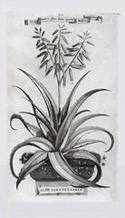 Aloe vera vulgaris