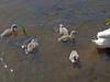 Mute Swan chicks (Philip_Goddard) Tags: nature naturalhistory animals vertebrates birds anatidae cygnus swans cygnusolor muteswan cygnets chicks europe unitedkingdom britain british britishisles greatbritain uk england southwestengland