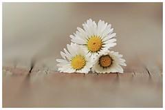 Daisies... (JiJaRo) Tags: flower flowers daisies macro bokeh canon garden czech