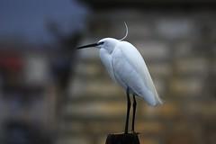 Garzetta (kmclaudio) Tags: pentaxart uccello bird garzetta allaperto ali