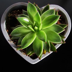 """""""Succulence of Love"""" (seanwalsh4) Tags: 7dwf fridaysflora love peace noncacti succulent waterpreserving lowrainfallareas livesinaridareas fauna nature plant green fleshylove heart together happy canon photography ixus190 desert kiss smile couple flowers valentinesday"""