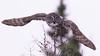 Winter Olympics (Nature Style) (jrlarson67) Tags: great gray grey owl strix nebulosa chouette lapone flight flying hunting raptor bird bif saxzim bog mn minnesota