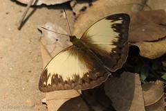 IMG_6079 Cymothoe jodutta (Raiwen) Tags: cymothoejodutta cymothoe limenitidinae nymphalidae lepidoptera butterfly guinea westafrica