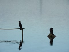 Cormorant silhouettes (Sharon B Mott) Tags: silhouettes cormorants birds britishwildlife wildlife nature rspboldmoor winter february reflections