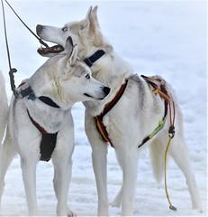 Draghundar vid Ornässtugan (lena.fredin) Tags: vintersport fotosondag 180218