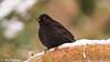 Common Blackbird, Koltrast (Jan Ristner) Tags: 5star flickr koltrast