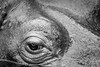 hippo is watching you (Danyel B. Photography) Tags: bw sw schwarz weis black white animals emotions hippo