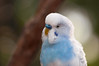 Budgie (karinnell) Tags: bird budgerigar budgie shellparakeet bloedelconservatory melopsittacusundulatus