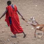 Maasai Dragging the Goat thumbnail