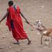 Maasai Dragging the Goat